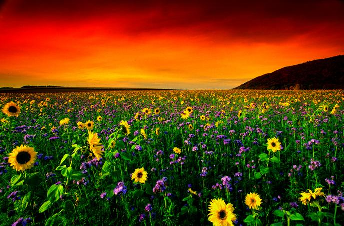 Flower Meadow for red sky